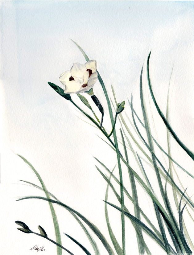 """""""Fortnight Lily"""" is a botanical watercolor painting of the same named flowering plant by artist Esther BeLer Wodrich."""