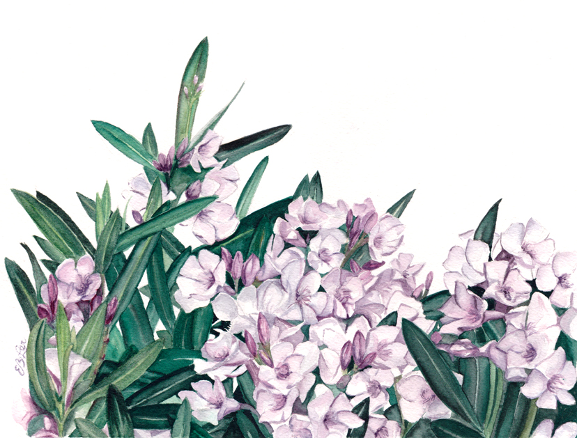 """Oleander"" is a botanical watercolor illustration of a portion of an oleander bush found in Arizona by artist Esther BeLer Wodrich"