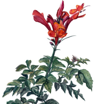 Botanical Watercolor of a Cape Honeysuckle plant by artist Esther BeLer Wodrich