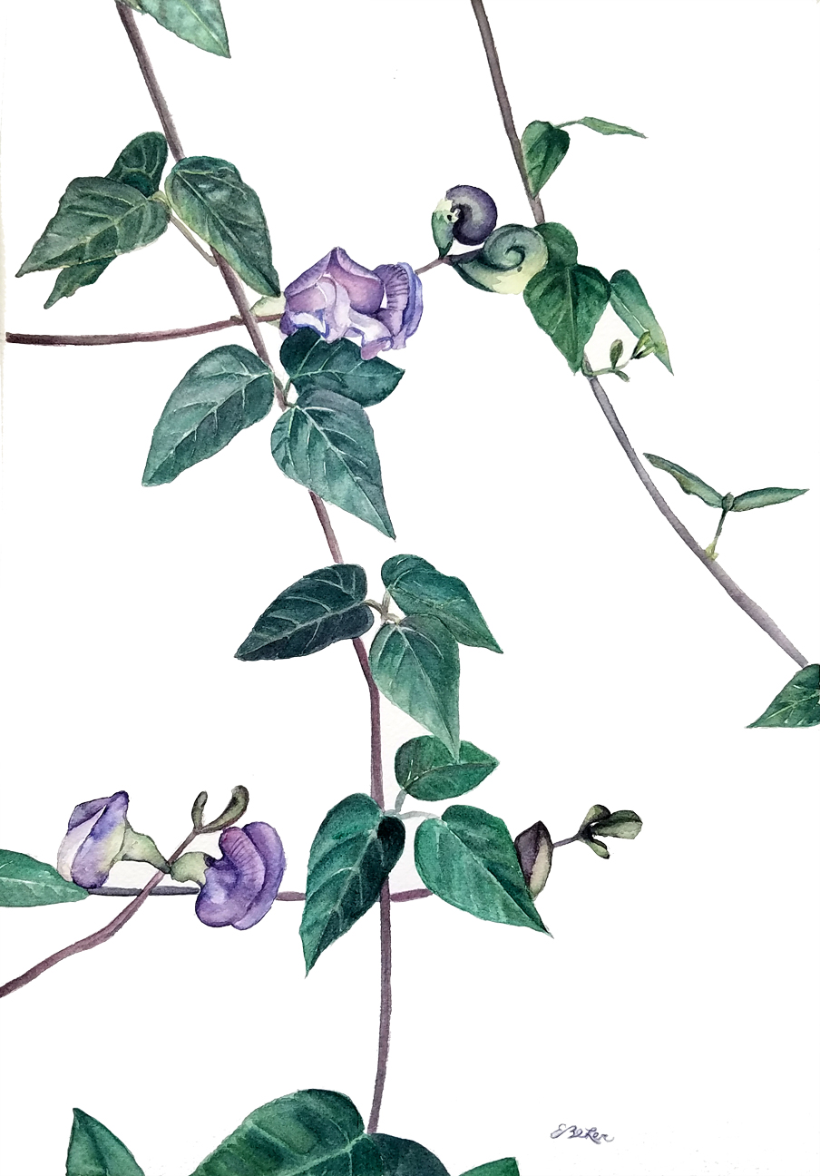"""""""Snail Vine"""" is a watercolor painting of a vine plant with snail shaped purple flowers by artist Esther BeLer Wodrich"""