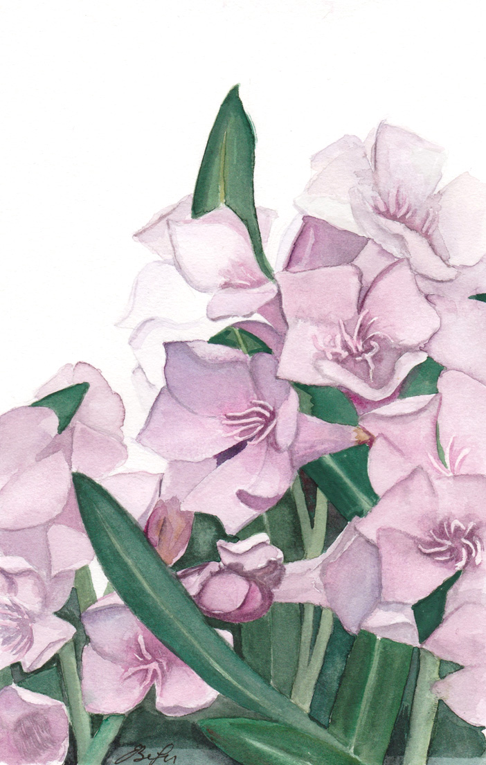 Oleander Study is a botanical watercolor painting of an Oleander plant by artist Esther BeLer Wodrich