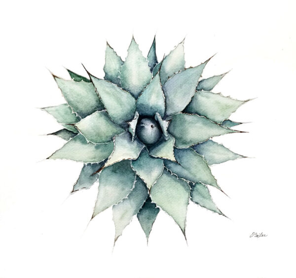"""Agave"" is an botanical watercolor painting of an overhead view of an agave plant by artist Esther BeLer Wodrich"