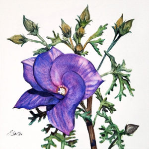 """Desert Hibiscus"" is a botanical watercolor on aquabord of a blue-violet flowering desert hibiscus by artist Esther BeLer Wodrich"