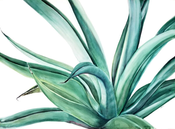 """Octopus Agave"" is a watercolor on Ampersand Aquabord of the desert botanical named the octopus agave by artist Esther BeLer Wodrich"